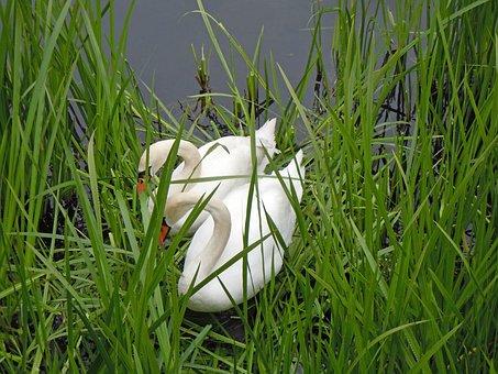 Swans, Swan's Nest, Swan Pair