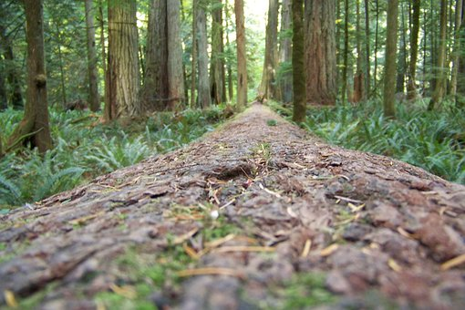 Redwoods, Trees, Forest, Tall Trees, Nature, Tree