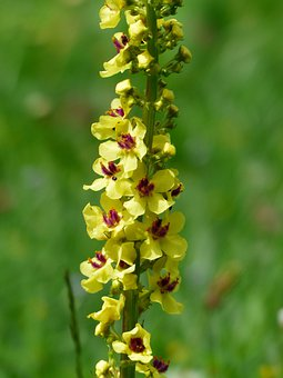 Flowers, Yellow, Black Mullein, Verbascum Nigrum