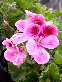 Purple Flower, Geranium, Flowers, Violet, Purple