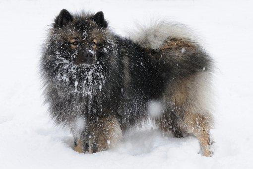 Keeshond, Dog, Snow, Winter