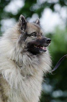 Keeshond, Wolf Spitz, Portrait, Wuschelig, Purebred Dog