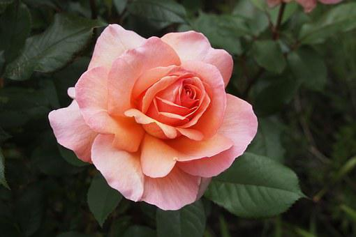 Rose, Pink, Alpine Sunset, Flower, Petal, Blossom