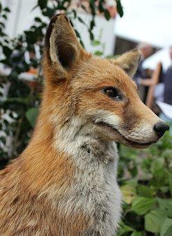 Fox, Animal, Wild, Carnivore, Preditor, Wildlife