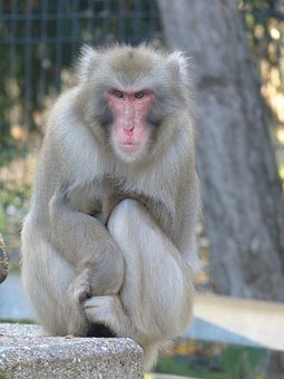 Red Face Macaque, Macaca Fuscata, Ape, Japan, Cold