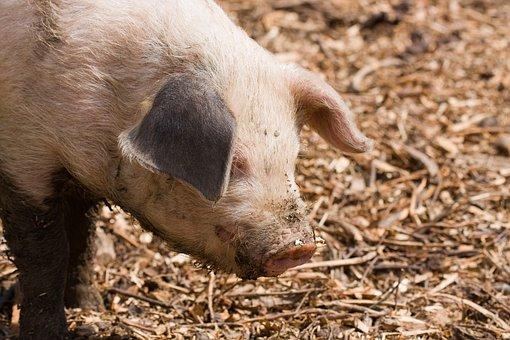 Pig, Piglet, Baby, Young, Cute, Close-up, Snout, Piggy
