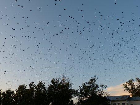 Flock Of Birds, Birds, Fly, Russia, Suzdal, Sky, Blue