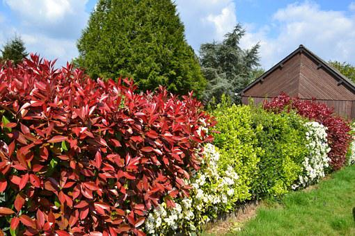 Hedge, Haie Fleurie, Bushes, Red Leaves, Fothinia
