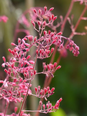 Coral Bells, Flower, Bronze Bells