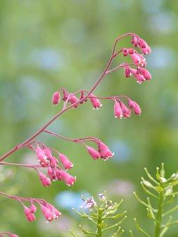Coral Bells, Flower, Bloom, Bronze Bells