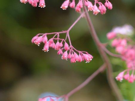 Coral Bells, Flower, Bloom, Red, Bell, Purple, Filigree