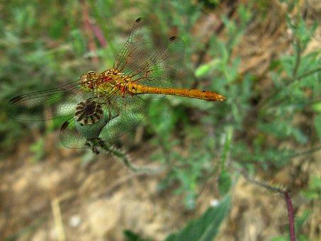 Dragonfly, Insect, Libellula Depressa