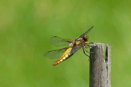 Dragonfly, Sailing Dragonfly, Plattbauch, Female