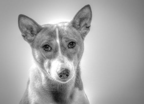 Basenji, Dog, Hundbild, Died, Black And White