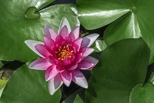 Water Lilies, Lotus, Aquatic Plants, Medicinal Plants
