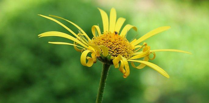 Magerite, Flower, Nature, Yellow Flower