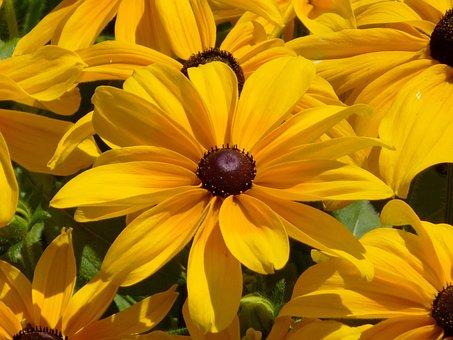 Yellow Flower, Kúpvirág, Echinacea, Ornamental Plants