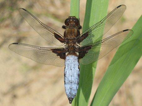 Plattbauch, Dragonfly, Libellula Depressa, Libellulidae