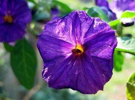 Flower, Purple, Geometric Shape, Delicate, Centr