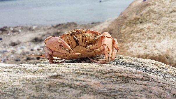 Cancer, Sea, Baltic Sea, North Sea, Animal, Scissors