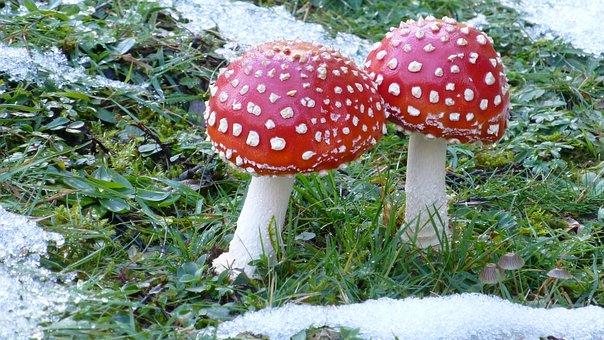 Fly Agaric, Mushroom, Meadow, Snow