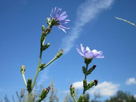 Cichorium Intybus, Chicory, Blue Daisy, Blue Dandelion