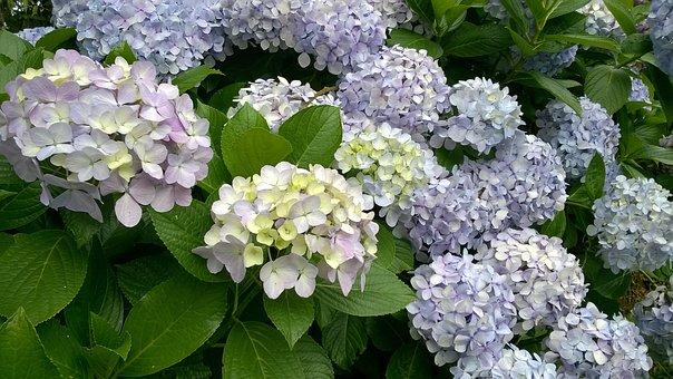 Hydrangea, Flowers, Campos Do Jordão, Blue Petals, Bush