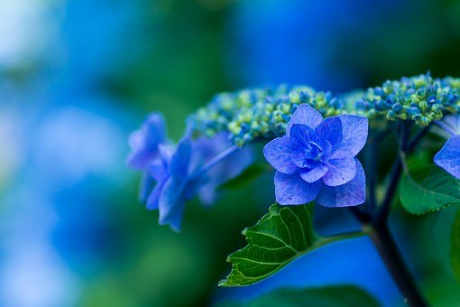 Hydrangea, Blue Petals, Plant, Japan, Flowers