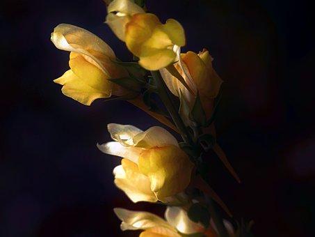 Yellow, Common Snapdragon, Snapdragon