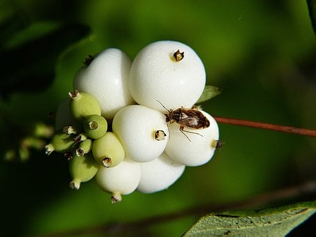 Common Snowberry, Symphoricarpas Albus, Toy Torpedo