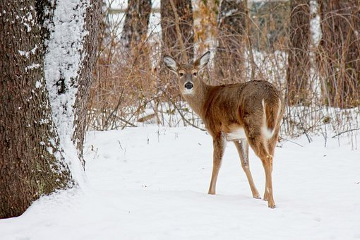 Deer, White Tailed Deer, Woods, Woodland Animals
