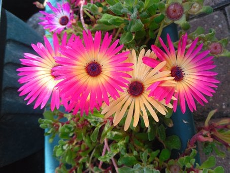 Gerber Daisy, Flower, Pot, Pink, Nature, Fresh, Floral