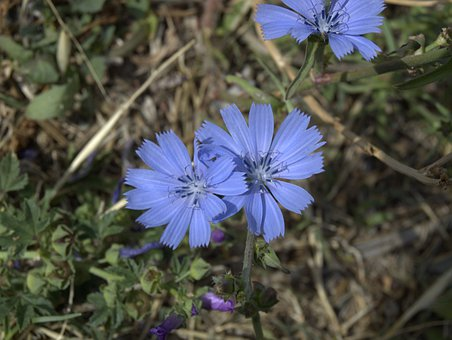 Common Chicory, Flower, Blue, Nature