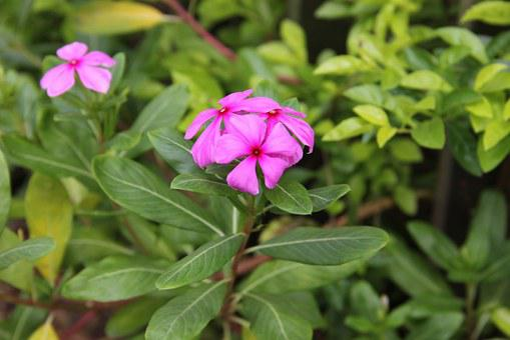 Flower, Catharanthus Roseus, Showy Flowers, Flowers