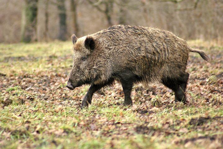 Wild Boar, Forest, Tree, Animal, Winter, Grass