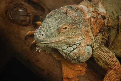 Iguana, Lizard, Scaly, Herbivorous, Saurian, Head