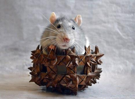 Rat, Decorative, In A Basket, Animal, Home, Closeup