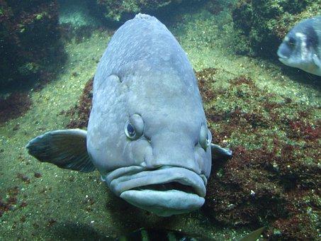 Humphead Wrasse, Fish, Animal, Wrasse