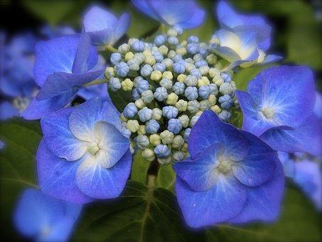 Hydrangea, Blue Hydrangea, Blue, Flower