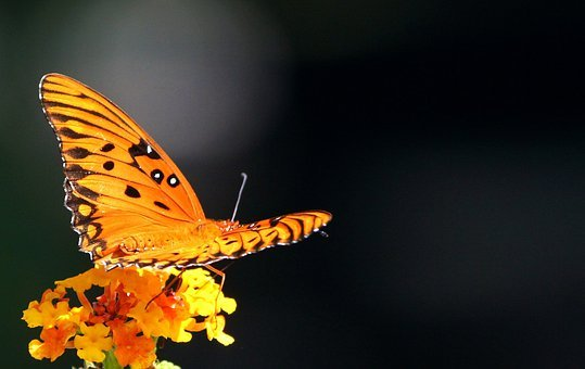 Passion Butterfly, Gulf Fritillary, Insect, Flying