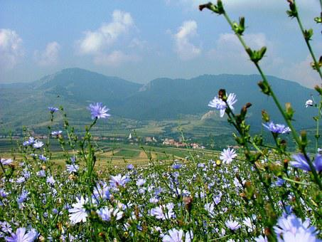 Rimetea, Transylvania, Field, Nature, Intybus Chicory