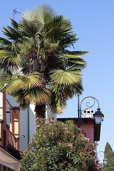 Palm, Arecaceae, Fan Palm, Plant, Flora, Botany