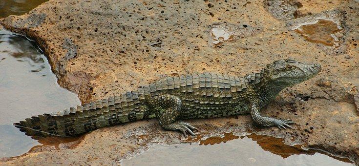 Crocodile, Saurian, Reptile, Pond