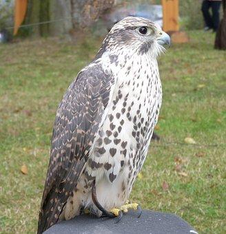 Saker Or Würgefalke, Bird, Plumage, Raptor, Falcon
