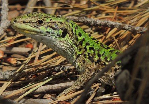 Lizard, Sauri, Reptile, Nature