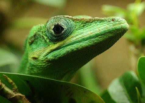 Lizard, Reptile, Sauri