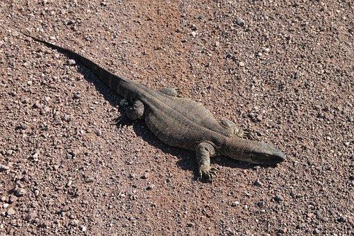 Iguana, Saurian, Namibia, Desert, Africa, Creature