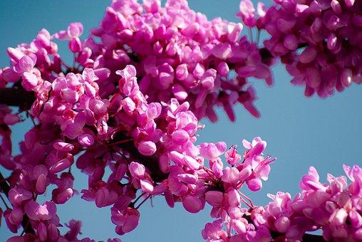 Tree Of Judea, Cercis Siliquastrum, Pink Flowers