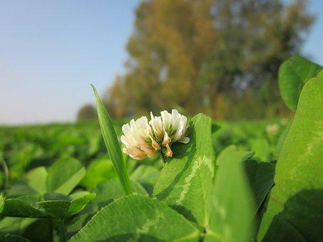 Trifolium Repens, White Clover, Dutch Clover, Flora