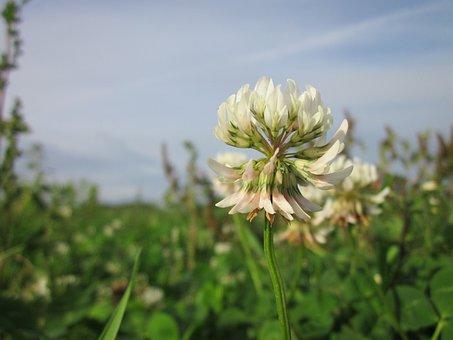 Trifolium Repens, White Clover, Dutch Clover